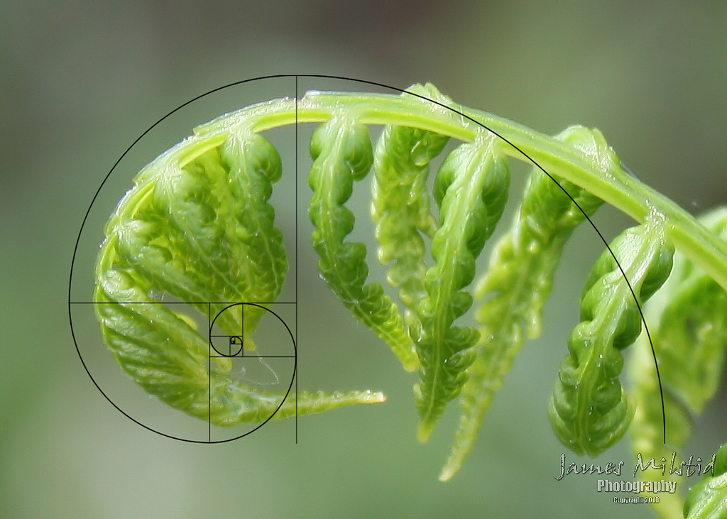 fibonacci-lechuga